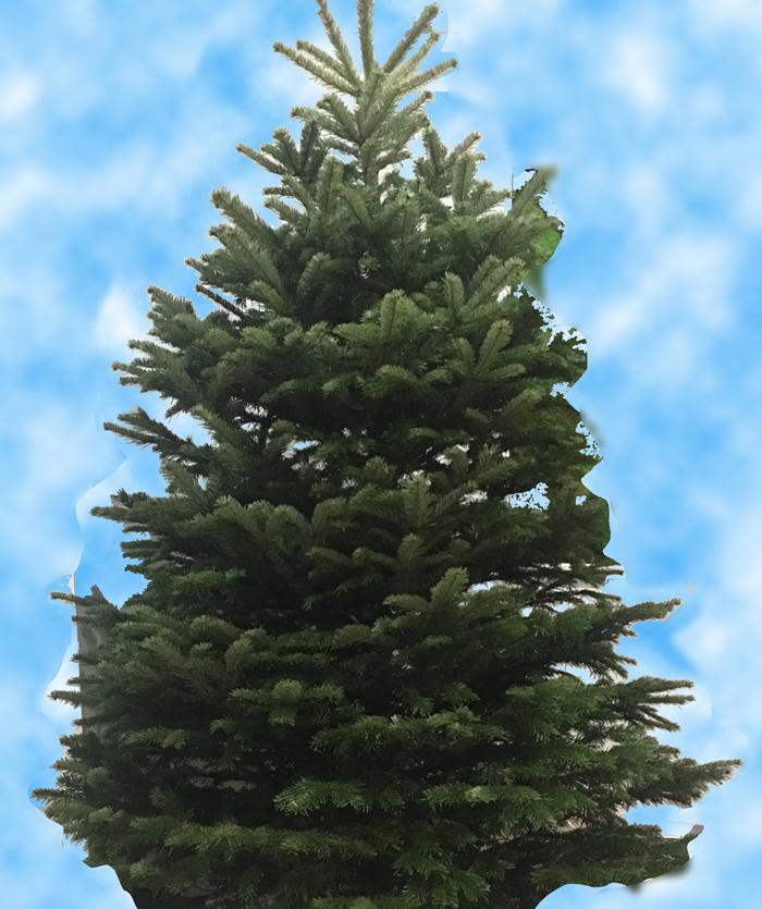 クリスマスツリー もみの木 パリ